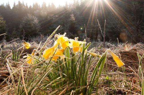 Gelbe Narzissen im Nationalpark Eifel: Wanderung im Frühling