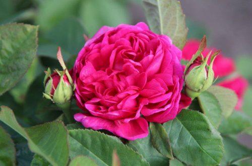 Rosenpflege und Rosen düngen im Frühjahr, Sommer und Herbst