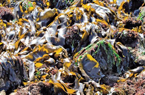 Algen an Nord- und Ostsee: Algen am Strand und im Herbarium