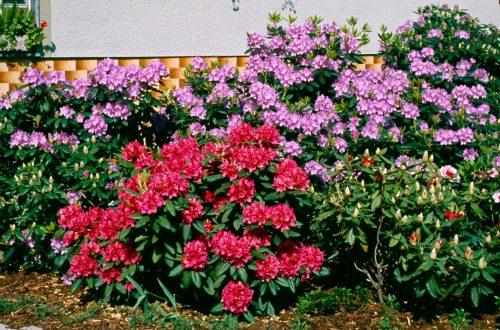 Pflanzung und Pflege von RHODODENDRON